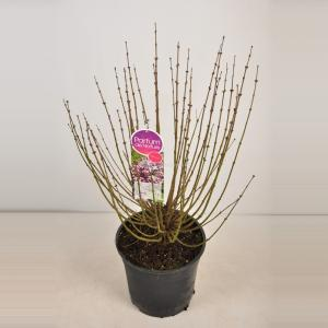 Plantenwinkel.nl Dwergsering (syringa meyeri Palibin) - 40-60 cm - 1 stuks