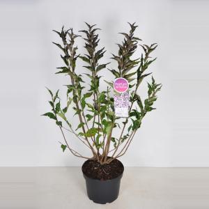 Plantenwinkel.nl Dwergsering (syringa patula Miss Kim) - 70-90 cm - 1 stuks