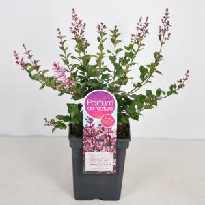 Plantenwinkel.nl Dwergsering (syringa BloomerangPink Perfume) - 30-50 cm - 1 stuks