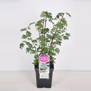 Sering (syringa pinnatifolia)