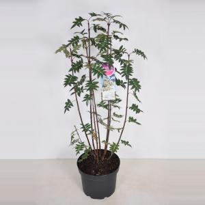 Plantenwinkel.nl Sering (syringa pinnatifolia) - 70-90 cm - 1 stuks