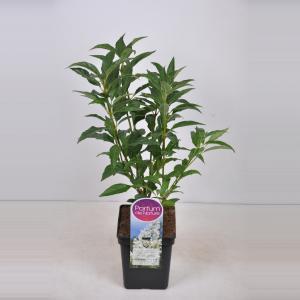Plantenwinkel.nl Sering (syringa villosae Agnes Smith) - 30-50 cm - 1 stuks