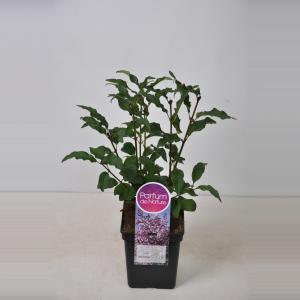 Plantenwinkel.nl Sering (syringa villosae Lark Song) - 50-70 cm - 1 stuks