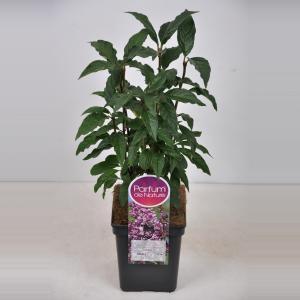 Plantenwinkel.nl Sering (syringa villosae Minuet) - 30-50 cm - 1 stuks