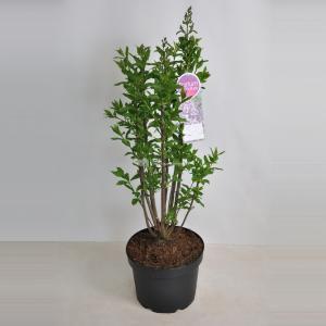 Plantenwinkel.nl Sering (syringa villosae Minuet) - 60-80 cm - 1 stuks