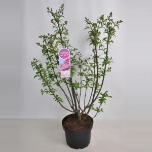 Plantenwinkel.nl Sering (syringa villosae Miss Canada) - 70-90 cm - 1 stuks