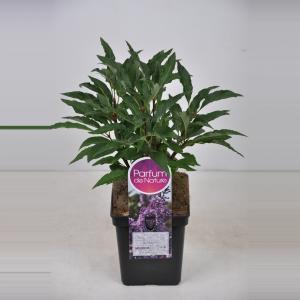 Plantenwinkel.nl Sering (syringa villosae Royalty) - 30-50 cm - 1 stuks