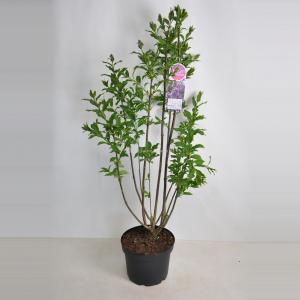 Plantenwinkel.nl Sering (syringa villosae Royalty) - 70-90 cm - 1 stuks