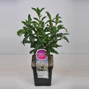 Plantenwinkel.nl Sering (syringa villosae Tammelan Kaunotar) - 30-50 cm - 1 stuks