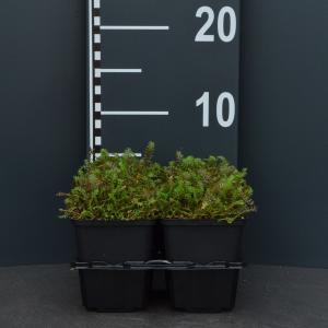 Koperknoopje (leptinella squalida) bodembedekker