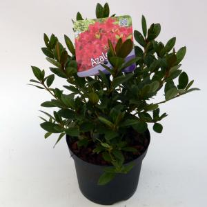 """Rododendron (Rhododendron Japonica """"Arabesk"""") heester"""