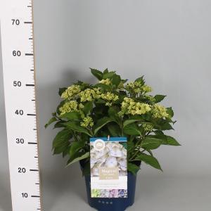 "Hydrangea Macrophylla ""Magical Harmony Blauw""® boerenhortensia"