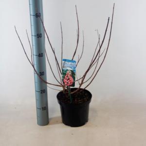 "Hydrangea Paniculata ""Mega Mindy""® pluimhortensia"