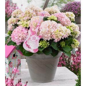 "Hydrangea Macrophylla Music Collection ""Soft Pink Salsa""® boerenhortensia"