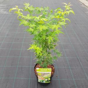 "Japanse esdoorn (Acer palmatum ""Going Green"") heester"