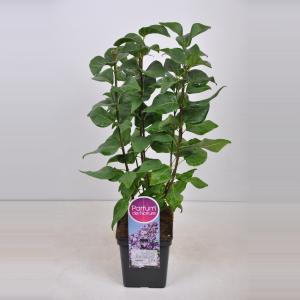 Plantenwinkel.nl Sering (syringa vulgaris Lavender Lady) - 50-70 cm - 1 stuks