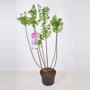 Plantenwinkel.nl Sering (syringa vulgaris Lavender Lady) - 70-90 cm - 1 stuks
