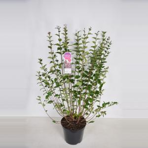 """Dwergsering (syringa microphylla """"Superba"""")"""