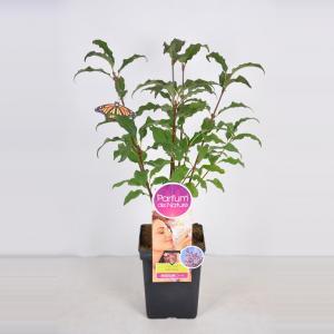 Plantenwinkel.nl Sering (syringa villosae Lark SongParfum de Nature)