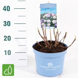 "Hydrangea Macrophylla ""Endless Summer Bloomstar Blue""® boerenhortensia"