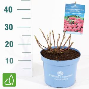 "Hydrangea Macrophylla ""Endless Summer Bloomstar Pink""® boerenhortensia"