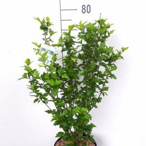 Hibiscus struik Totus Albus - 5 stuks