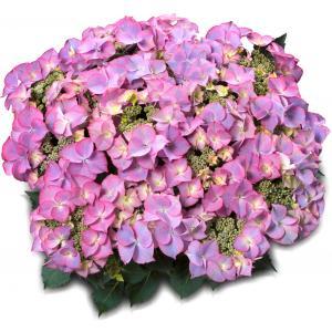 "Hydrangea Macrophylla Classic® ""Tiffany Blue""® schermhortensia"