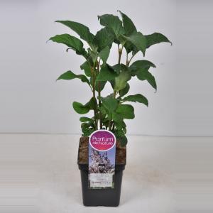 Plantenwinkel.nl Sering (syringa villosae Telimena) - 30-50 cm - 1 stuks
