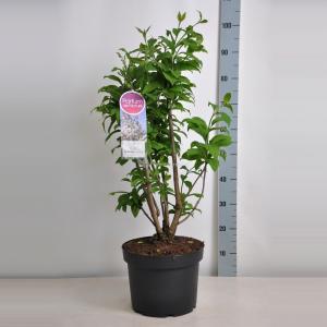 Plantenwinkel.nl Sering (syringa villosae Telimena) - 70-90 cm - 1 stuks