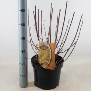 "Hydrangea Paniculata ""Candlelight""® pluimhortensia"