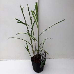 """Prachtriet (Miscanthus sinensis """"Giganteus"""") siergras"""