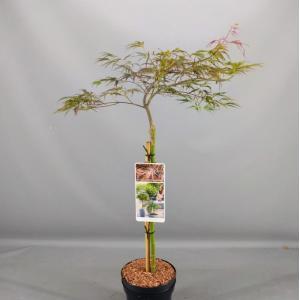 """Japanse esdoorn op stam (Acer palmatum """"Crimson Queen"""") heester"""