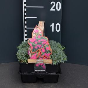 "Steenanjer (dianthus gratianopolitanus ""Babi Lom"") bodembedekker"