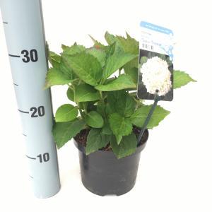"Hydrangea Macrophylla ""Soeur Thérese"" boerenhortensia"