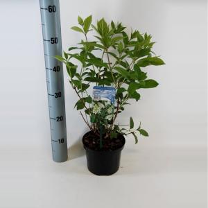 """Hydrangea Paniculata """"Tardiva"""" pluimhortensia"""