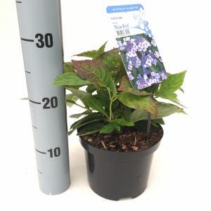 """Hydrangea Serrata """"Blue Bird"""" berghortensia"""