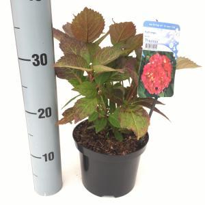 """Hydrangea Serrata """"Preziosa"""" berghortensia"""