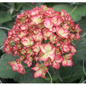 "Hydrangea Macrophylla ""Charming® Alice Pink""® boerenhortensia"
