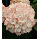 "Hydrangea Macrophylla ""Charming® Claire Pink""® boerenhortensia"