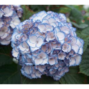 "Hydrangea Macrophylla ""Charming® Sophia Blue""® boerenhortensia"