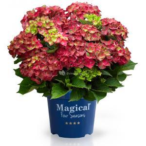 "Hydrangea Macrophylla ""Magical Ruby Tuesday""® boerenhortensia"