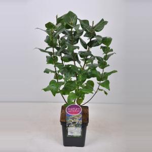 Plantenwinkel.nl Sering (syringa vulgaris Marie Legraye)