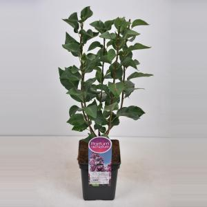 Plantenwinkel.nl Sering (syringa vulgaris Paul Deschanel) - 50-70 cm - 1 stuks