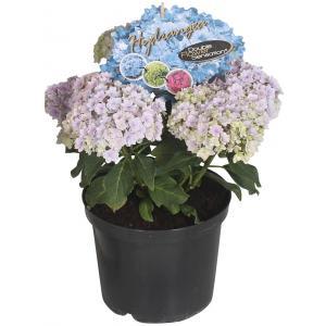 """Hydrangea Macrophylla """"Double Flowers Blue""""® boerenhortensia"""