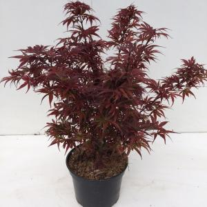 "Japanse esdoorn (Acer palmatum ""Shaina"") heester"