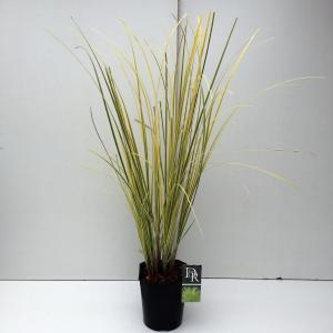 "Pampasgras (Cortaderia selloana ""Splendid Star"") siergras"