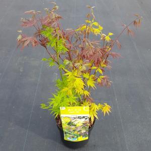 "Japanse esdoorn mix (Acer palmatum ""Festival"") heester"
