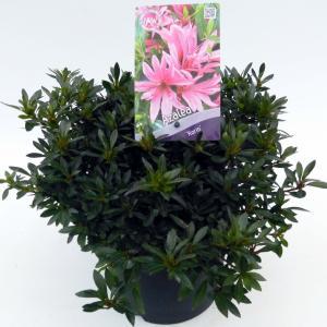 "Rododendron (Rhododendron Satsuki ""Korin"") heester"