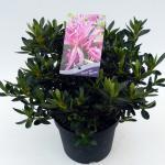 "Rododendron (Rhododendron Satsuki ""Shiryu-no-Homare"") heester"
