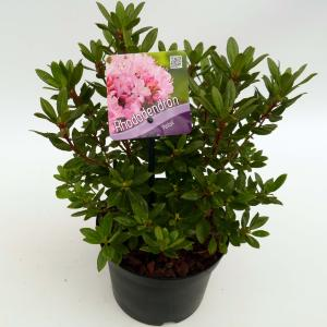 """Dwerg rododendron (Rhododendron """"Pintail"""") heester"""